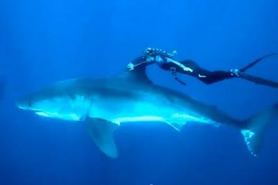 Los tiburones blancos son inofensivos…