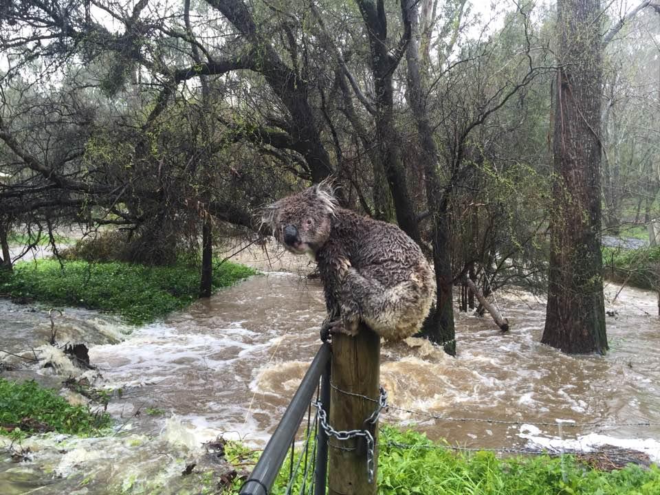 koala-en-adelaida