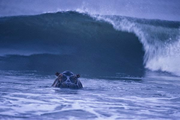 El hipopotamo surfista