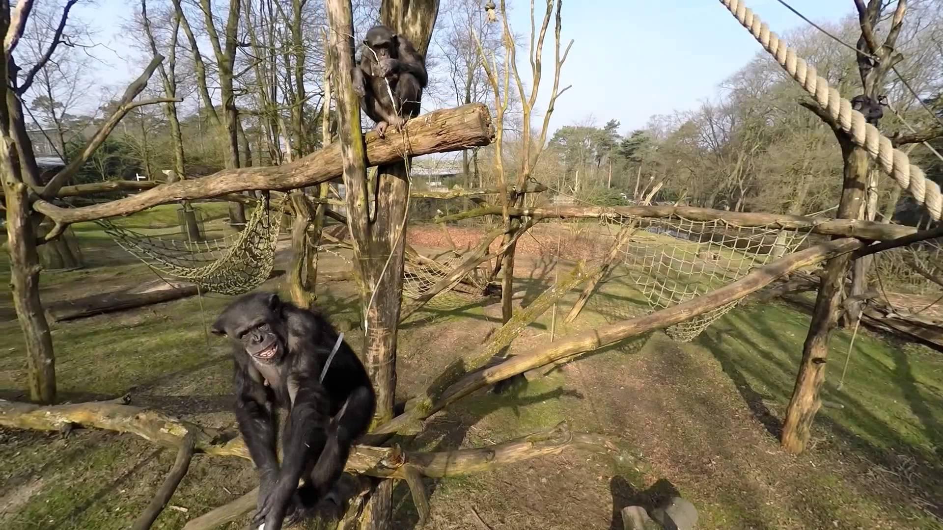 Este deber ser sin duda un chimpance de Andres Martinez